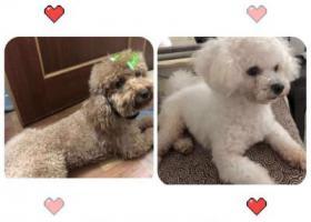 寻狗启示,广州市番禺区钟村雄峰城寻找两只爱犬,它是一只非常可爱的宠物狗狗,希望它早日回家,不要变成流浪狗。
