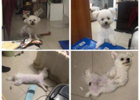 寻狗启示,南宁北湖唐山路口丢失9个月大的比熊,它是一只非常可爱的宠物狗狗,希望它早日回家,不要变成流浪狗。