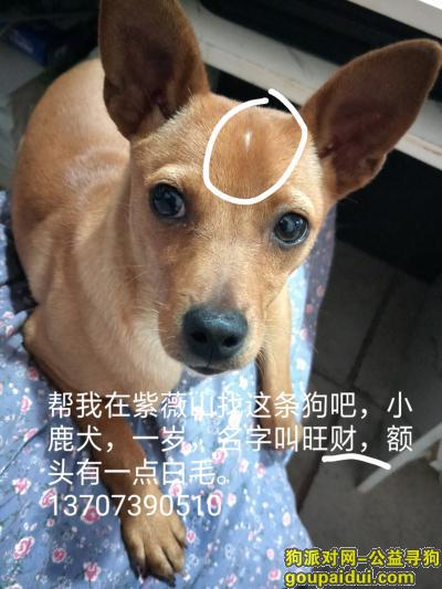 邵阳寻狗,紫薇山丢失一只小鹿犬,母的,它是一只非常可爱的宠物狗狗,希望它早日回家,不要变成流浪狗。