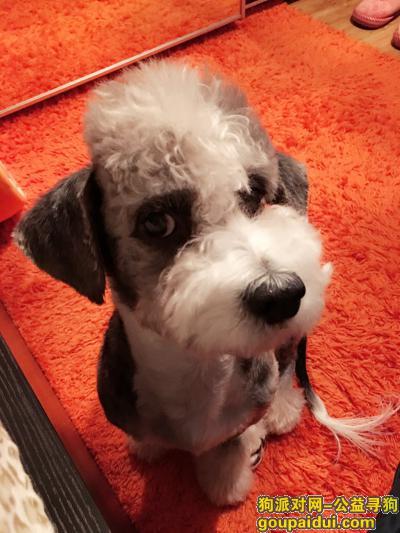 寻狗启示,北京市西城区.新街口.雪纳瑞串串.有偿,它是一只非常可爱的宠物狗狗,希望它早日回家,不要变成流浪狗。