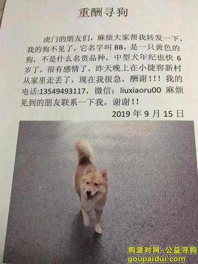 【东莞找狗】,寻母柴犬串串,中型犬竖耳紫舌头,它是一只非常可爱的宠物狗狗,希望它早日回家,不要变成流浪狗。