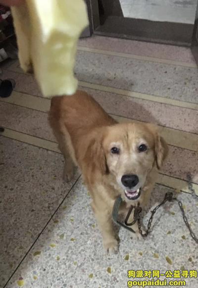 寻狗启示,金毛被偷!看到请联系,必重谢!,它是一只非常可爱的宠物狗狗,希望它早日回家,不要变成流浪狗。