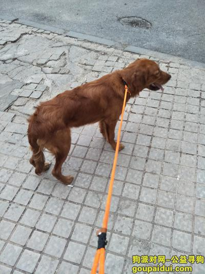 大连找狗主人,振连路刚上桥头附近(徃开发区方向)捡到一只金毛狗。,它是一只非常可爱的宠物狗狗,希望它早日回家,不要变成流浪狗。