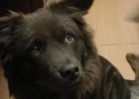 寻狗启示,麻烦大家看到一定要联系我!!感谢大家!,它是一只非常可爱的宠物狗狗,希望它早日回家,不要变成流浪狗。