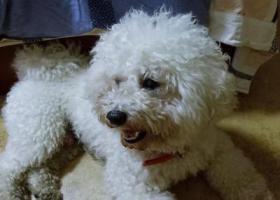寻狗启示,女子大学附近捡到一只白色比熊(or泰迪),它是一只非常可爱的宠物狗狗,希望它早日回家,不要变成流浪狗。