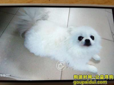 ,寻找爱犬白色博美,请好心人善待狗狗,它是一只非常可爱的宠物狗狗,希望它早日回家,不要变成流浪狗。