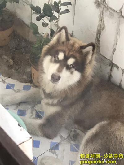 连云港寻狗网,赣榆新城区捡到红色哈奇士,它是一只非常可爱的宠物狗狗,希望它早日回家,不要变成流浪狗。