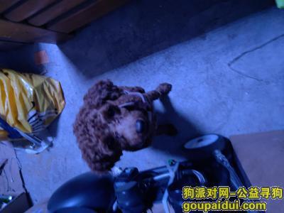 郑州寻狗主人,泰迪谁家的看着很可怜现在在我这,它是一只非常可爱的宠物狗狗,希望它早日回家,不要变成流浪狗。