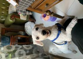 寻狗启示,天津中北镇白色剃毛比熊,它是一只非常可爱的宠物狗狗,希望它早日回家,不要变成流浪狗。