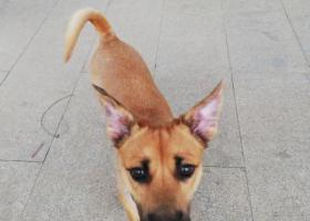 寻狗启示,闪电⚡️ 快点回家,寻找黄色小土狗,它是一只非常可爱的宠物狗狗,希望它早日回家,不要变成流浪狗。