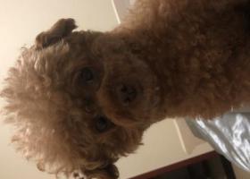 寻狗启示,圆眼睛棕色泰迪胖乎乎体型不算大,8斤,它是一只非常可爱的宠物狗狗,希望它早日回家,不要变成流浪狗。