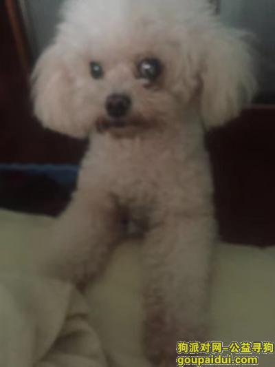 嘉兴寻狗网,求助,家里的白色贵宾走丢,它是一只非常可爱的宠物狗狗,希望它早日回家,不要变成流浪狗。