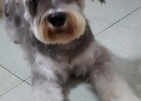 寻狗启示,跪求好心人帮忙,尋愛犬雪纳瑞,它是一只非常可爱的宠物狗狗,希望它早日回家,不要变成流浪狗。