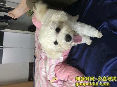 绵阳找狗,御营二队捡到的 比熊妹妹,它是一只非常可爱的宠物狗狗,希望它早日回家,不要变成流浪狗。
