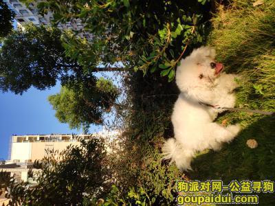 马鞍山找狗,雨山区金山嘉苑9月23日晚八点从家跑丢一只白色母比熊,它是一只非常可爱的宠物狗狗,希望它早日回家,不要变成流浪狗。
