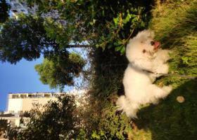 寻狗启示,雨山区金山嘉苑9月23日晚八点从家跑丢一只白色母比熊,它是一只非常可爱的宠物狗狗,希望它早日回家,不要变成流浪狗。