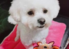 寻狗启示,白色比熊,公狗,有泪痕,才剪的狗毛。,它是一只非常可爱的宠物狗狗,希望它早日回家,不要变成流浪狗。