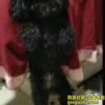 瑞安寻狗启示,寻找一只丢失的黑色泰迪犬,,它是一只非常可爱的宠物狗狗,希望它早日回家,不要变成流浪狗。