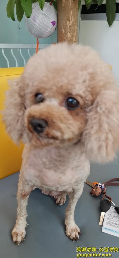 福州捡到狗,贵宾犬 在福州元洪城,它是一只非常可爱的宠物狗狗,希望它早日回家,不要变成流浪狗。