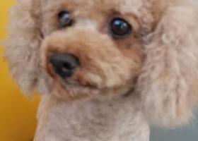 寻狗启示,贵宾犬 在福州元洪城,它是一只非常可爱的宠物狗狗,希望它早日回家,不要变成流浪狗。