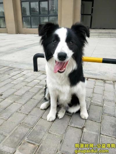 蚌埠寻狗,边牧(一岁)在蚂虾街丢失,它是一只非常可爱的宠物狗狗,希望它早日回家,不要变成流浪狗。