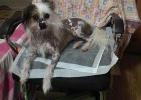 寻狗启示,杭州西湖区9月21日走失冠毛犬,望知情人提供线索。,它是一只非常可爱的宠物狗狗,希望它早日回家,不要变成流浪狗。