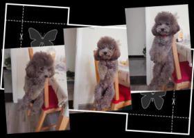 寻狗启示,天津市梅江附近走丢一只灰色泰迪,它是一只非常可爱的宠物狗狗,希望它早日回家,不要变成流浪狗。