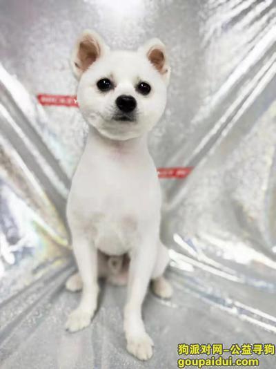 襄阳丢狗,在襄阳万达附近紫贞公园丢失了一只白色博美,它是一只非常可爱的宠物狗狗,希望它早日回家,不要变成流浪狗。