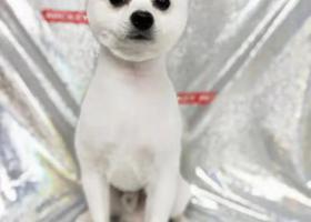 寻狗启示,在襄阳万达附近紫贞公园丢失了一只白色博美,它是一只非常可爱的宠物狗狗,希望它早日回家,不要变成流浪狗。