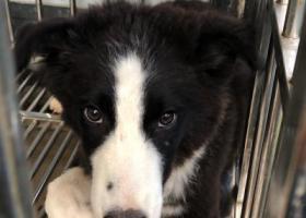 寻狗启示,边牧母的4个多月黑白三通到位,它是一只非常可爱的宠物狗狗,希望它早日回家,不要变成流浪狗。