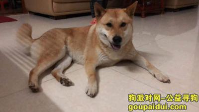 ,江门棠下积溪小土狗 酬谢5000元,它是一只非常可爱的宠物狗狗,希望它早日回家,不要变成流浪狗。