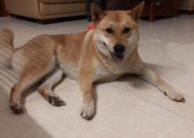 寻狗启示,江门棠下积溪小土狗 酬谢5000元,它是一只非常可爱的宠物狗狗,希望它早日回家,不要变成流浪狗。