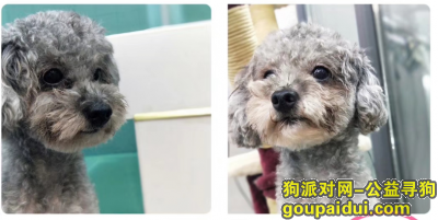 ,幸福城朗园北门附近走失灰色泰迪狗,它是一只非常可爱的宠物狗狗,希望它早日回家,不要变成流浪狗。