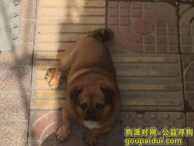潍坊找狗,2019年9月28日坊子新区丢失京巴~重金寻!!!!,它是一只非常可爱的宠物狗狗,希望它早日回家,不要变成流浪狗。