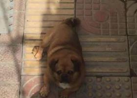 寻狗启示,2019年9月28日坊子新区丢失京巴~重金寻!!!!,它是一只非常可爱的宠物狗狗,希望它早日回家,不要变成流浪狗。