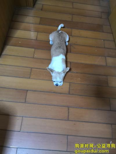 南宁寻狗主人,南宁亭江路捡到一只吉娃娃,它是一只非常可爱的宠物狗狗,希望它早日回家,不要变成流浪狗。