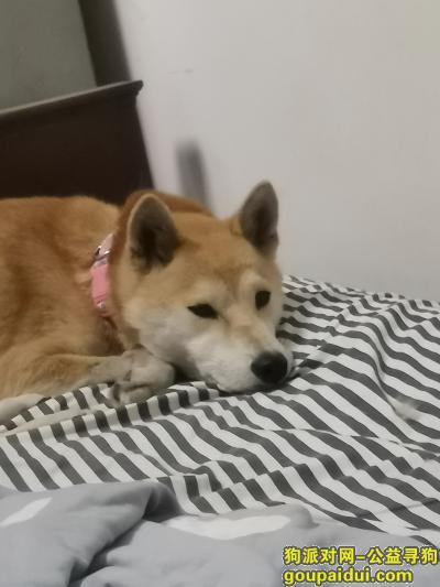 无锡寻狗主人,晚上喝酒喝多了,路上遇到的,坐标江苏无锡新区新城金郡,它一直跟着我,应该是4岁左右母柴犬。,它是一只非常可爱的宠物狗狗,希望它早日回家,不要变成流浪狗。