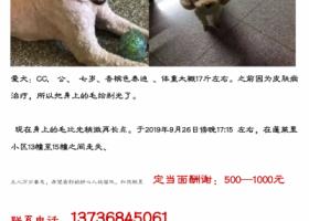寻狗启示,寻找香槟色泰迪CC!!!!!,它是一只非常可爱的宠物狗狗,希望它早日回家,不要变成流浪狗。