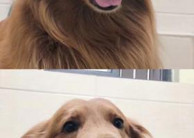 寻狗启示,江苏无锡枫叶色金毛丢失 着急!,它是一只非常可爱的宠物狗狗,希望它早日回家,不要变成流浪狗。