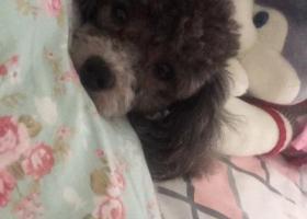 寻狗启示,寻找灰色小泰迪 重金酬谢,它是一只非常可爱的宠物狗狗,希望它早日回家,不要变成流浪狗。
