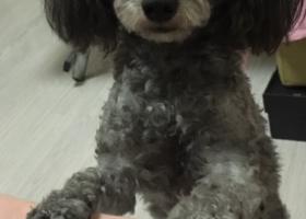 寻狗启示,急找黑灰色泰迪 男孩 特别瘦,它是一只非常可爱的宠物狗狗,希望它早日回家,不要变成流浪狗。