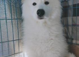 寻狗启示,四川眉山寻找萨摩弟弟,它是一只非常可爱的宠物狗狗,希望它早日回家,不要变成流浪狗。