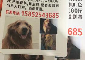 寻狗启示,无锡寻找枫叶色金毛 急!,它是一只非常可爱的宠物狗狗,希望它早日回家,不要变成流浪狗。