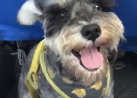 寻狗启示,雪纳瑞 母狗 不认生 捡到重金感谢,它是一只非常可爱的宠物狗狗,希望它早日回家,不要变成流浪狗。