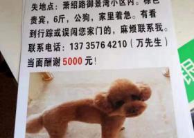 寻狗启示,杭州萧山区萧绍路御景湾小区酬谢五千元寻找贵宾,它是一只非常可爱的宠物狗狗,希望它早日回家,不要变成流浪狗。