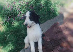 寻狗启示,寻找黑白花贵宾男生一只,它是一只非常可爱的宠物狗狗,希望它早日回家,不要变成流浪狗。
