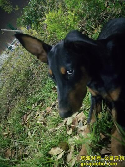 武汉捡到狗,捡到杜宾一只,希望主人能够看到,它是一只非常可爱的宠物狗狗,希望它早日回家,不要变成流浪狗。