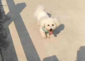 寻狗启示,重金寻狗,寻找比熊爱犬,它是一只非常可爱的宠物狗狗,希望它早日回家,不要变成流浪狗。