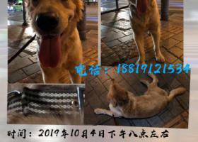 寻狗启示,广州荔湾区西村地铁口捡到金毛 男,它是一只非常可爱的宠物狗狗,希望它早日回家,不要变成流浪狗。