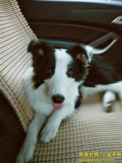 抚州寻狗启示,寻找爱犬边牧小七。。,它是一只非常可爱的宠物狗狗,希望它早日回家,不要变成流浪狗。